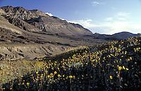 Spring wildflowers in Death Valley, California