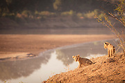 Lion cubs by river in South Luangwa National Park, Zambia