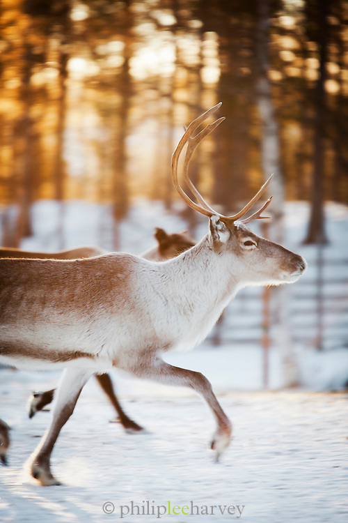 Reindeer on a homestead farm, National Park, Lapland, Finland.