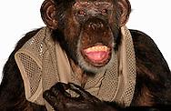 Deutschland, DEU, Krefeld, 2004: Projekt ueber die biologischen Wurzeln der Mode. Die Shootings hierfuer wurden mit Grossen Menschenaffen, die dem Menschen am naechsten sind, im Krefelder Zoo gemacht. Die Tiere waren weder zahm noch trainiert. Die Kleidungsstuecke wurden in die Gehege geworfen und was immer die Tiere damit anstellten, taten sie aus sich selbst heraus. Ein Eingreifen oder gar eine Regie war unmoeglich. Da das Verhalten der Affen im Mittelpunkt stand, wurden die Hintergruende von den Originalfotografien entfernt. Schimpansen-Weibchen Gombe mit einem Netzhemd von Sand. | Germany, DEU, Krefeld, 2004: Project to look at the basics and roots of fashion. The shootings took place in the Zoo Krefeld with three species of Great Apes who are the nearest to us. The animals were neither tamed nor trained. Whatever the animals did, they did on their own. Any intervention or directing was impossible. To set the focus on the behaviour of the animals itself we removed the background from the original photographs. Chimpanzee (Pan troglodytes) female Gombe with net-shirt from Sand. |