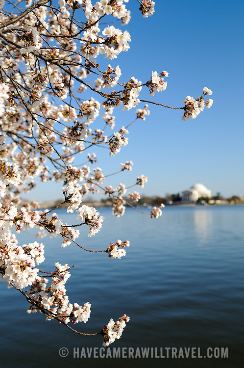 A portrait orientation shot of the Cherry Blossoms during peak bloom around the Tidal Basin in Washington DC in 2011. At left, the narrow depth of field is focused on the flowers, while in the background at right is the Jefferson Memorial.