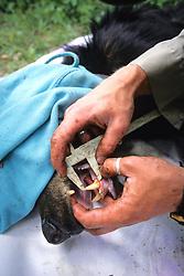 Measuring Black Bear Teeth