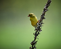 American Goldfinch. Image taken with a Nikon D5 camera and 600 mm f/4 VR telephoto lens (ISO 400, 600 mm, f/5.6, 1/1250 sec).