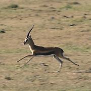 Thomson's Gazelle, (Gazella thomsonii) Male running. Serengeti Plains. Masai Mara Game Reserve. Kenya. Africa.