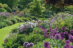 Mass planting of Allium hollandicum and Allium hollandicum 'Purple Sensation' running through the borders at Glen Chantry