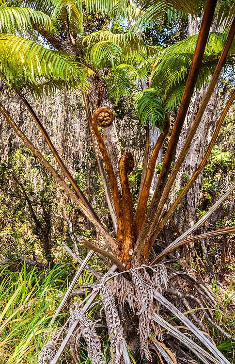 Hapu'u ferns in Hawai'i Volcanoes National Park, Hawaii, USA.