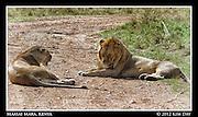 Lions In The Road.Maasai Mara, Kenya.September 2012