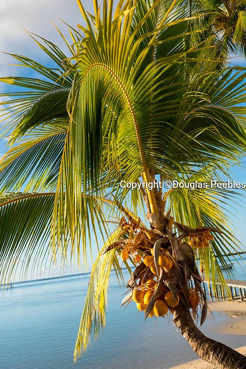 Coconut Palm Tree, Tiahura, Moorea, French Polynesia, South Pacific