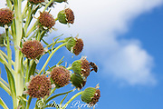 native, endemic Hawaiian yellow-faced bee Hylaeus sp., pollinating flowering Mauna Loa silversword or Ka'u silversword, Argyroxiphium kauense, endemic to the slopes of Mauna Loa volcano, Hawaii Volcanoes National Park, Big Island, Hawaii, U.S.A.