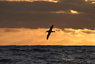 Buller's Albatross - Thalassarche bulleri