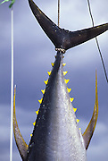Yellow Fin Tuna  (ahi), Hawaii<br />