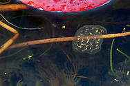 Pacific Treefrog tadpoles (Pseudacris regilla) growing in an egg sac at a Fraser Valley pond in British Columbia.