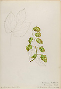 """Sketchbook 4 - Water-color sketches of plants of North America and Europe [graphic], Painted between June 1888 to September 1910 by Helen Sharp. Eighteen albums of water-color sketches by Helen Sharp of flowering plants and shrubs common to the United States, especially New England, as well as to Bermuda and parts of Europe, dated between June 1888 and Sept. 1910. Sketches in water-color and ink on paper (26 x 18 cm. or smaller) include botanical captions in Latin, along with Sharp""""s notes on the common name and physical characteristics of each plant, and location and date of drawing. There is also a table of contents at the front of each sketchbook. The first 16 albums contain sketches of plants common in New England, in towns of Massachusetts such as Nantucket, Taunton, Boston, No. Andover, Marblehead, Hingham, Gloucester; Maine (York, Sorrento); New Hampshire (Surrey), and Connecticut. Volume 17 contains sketches of plants made by the artist while traveling in Switzerland, Italy, England, and France, while v. 18 contains sketches of tropical fruits and flowers of Bermuda, completed during Sharp""""s visits of 1892, 1893, and 1903."""