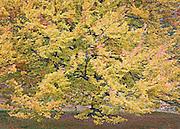 Stunning Autumn Maple Tree Portrait, Spokane, Washington