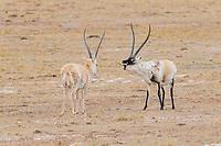 Tibetan antelope or chiru, Pantholops hodgsonii, Tibetan Plateau, Yushu, Haixi, Quinghai, China
