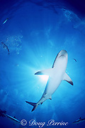 Caribbean reef shark, Carcharhinus perezi, Walker's Cay, Abaco Islands, Bahamas ( Western Atlantic Ocean )