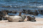 Hawaiian monk seals, Monachus schauinslandi, Critically Endangered endemic species; a 20+ year old male (R306), left, fights with a 5 year old male (RO36), right, over access to females; on beach at west end of Molokai, Hawaii