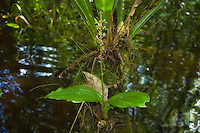 This is a common orchid in the Fakahatchee Strand during the hottest part of summer, and so far I have not seen it anywhere else but here. It is easily spotted by its large lettuce-like leaves growing from any submerged log or cypress stump.