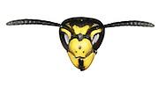 german wasp<br /> Vespula germanica