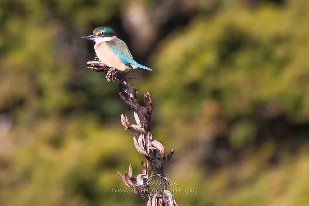 Sacred Kingfisher, Sandy Point Reserve, New Zealand