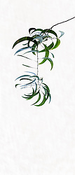 Acacia Auriculiformis #3
