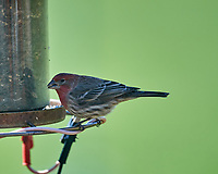 Male House Finch. Image taken with a Nikon D5 camera and 600 mm f/4 VR lens (ISO 560, 600 mm, f/4, 1/1250 sec).