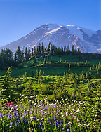 A late afternoon sun lights up wildflowers as Mt. Rainier looms in the background.