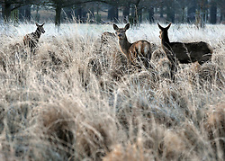 © Licensed to London News Pictures. 17/01/2012, Richmond, UK. Deer eat in the frost covered grass. Deer and frost during Sunrise at Richmond park on Tuesday 17th January 2011.  Photo credit : Stephen Simpson/LNP