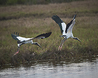 Pair of Wood Storks taking off. Biolab Road, Merritt Island National Wildlife Refuge. Image taken with a Nikon Df camera and 300 mm f/4  lens (ISO 1800, 300 mm, f/5.6, 1/100 sec).