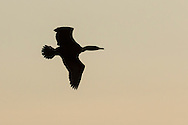 Middletown, New York - A double-crested cormorant flies over the lake at Fancher-Davidge Park on April 13, 2015.