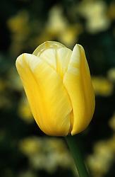 Tulipa 'Sweet Harmony'