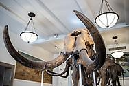 NEW YORK  2020V10<br /> Mammut. Utställningar på Naturhistoriska museet i New York.<br /> Foto: Per Danielsson/Projekt.P