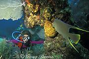 diver and blue angelfish, Holocanthus bermudensis, <br /> Biscayne National Park, Florida ( Atlantic )