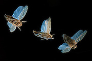 A sequence of a tiny (3.5mm) leafhopper (Cicadellidae spp.) in flight at night. These miniscule insects fly very quickly in short bursts. Photographed in western oregon,