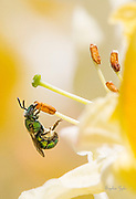 Sweat Bee in love with Northern Lights Azalea and loaded with pollen