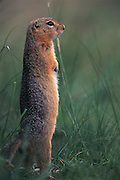 Long-tailed ground squirrel or Souslik<br /> (Spermophilus undulatus)<br /> Mongolia