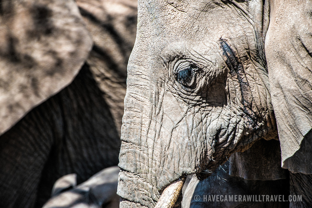 Side view of an adult female elephant in heat at Tarangire National Park in northern Tanzania not far from Ngorongoro Crater and the Serengeti.