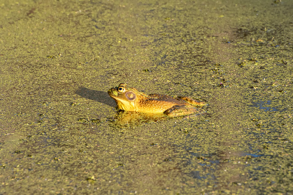 This big male American bullfrog was found trying to woo a couple of nearby females to his territory with his incredibly loud croaking in a small pond connected to Soos Creek in Kent, Washington, about 20 miles south of Seattle. Native the to American Southeast, this large aggressive true frog is out-competing other frog species outside of it's native habitat and not only spreading to the West Coast, but globally as well!