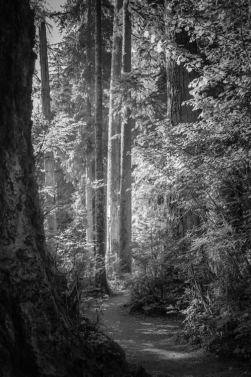 Light shines through the Hoh Rainforest in the Olympic National Park as a narrow path winds its way into the forest.