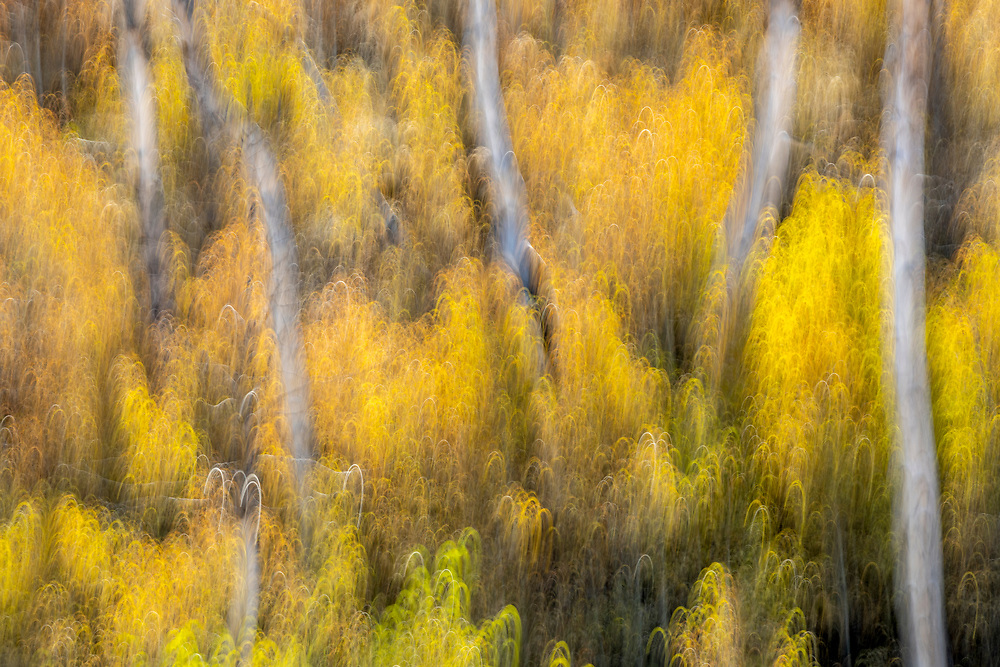 Limited Editions of 8<br /> Aspen tree blurs in a side canyon in the Wood River Valley of Central Idaho