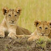 African Lion (Panthera leo) cubs. Masai Mara National Reserve, Kenya, Africa