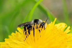 Asbij Andrena cineraria op paardenbloem