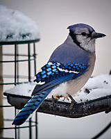 Blue Jay at a bird feeder. Image taken with a Nikon D5 camera and 600 mm f/4 VR lens (ISO 400, 600 mm, f/4, 1/640 sec).