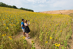 © Licensed to London News Pictures. 08/08/2020. CHORLEYWOOD, UK. Visitors take photos of the sunflowers growing in a wheat field near Chorleywood, Hertfordshire on a hot day where the temperature is expected to peak at 34C.  The forecast is for temperatures to continue to exceed 30C for the next few days.  Photo credit: Stephen Chung/LNP