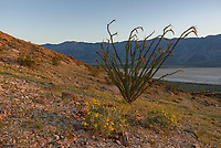 Most of the ocotillo plants in Anza Borrego had already lost their flowers. But I found this one on Coyote Mountain just as the sun was rising.