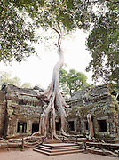 A tree grows through the ruins of Ta Prohm temple at Angkor, Siem Reap .Province, Cambodia