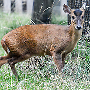 Deer Annual weigh in at ZSL London Zoo on 23 August 2018, London, UK