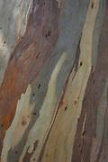 Tree bark texture of a Eucalyptus in Porto, Corsica, France.