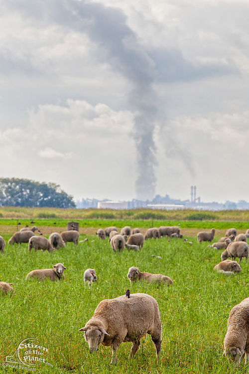 Sheep grazing in field with emissions from oil refinery in background. Delano, Kern County, San Joaquin Valley, California, USA