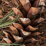 White pine cone on forest floor, early spring